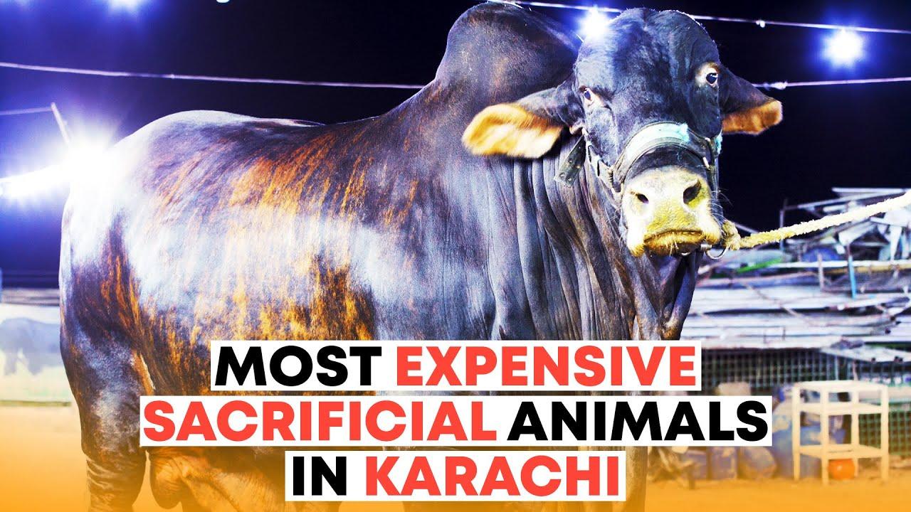 Most Expensive Sacrificial Animals In Karachi